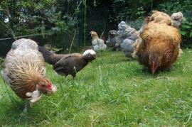 Petit troupeau de poules dans le jardin