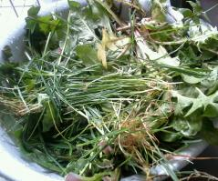 Pissenlits et herbe recoltes pour gouter