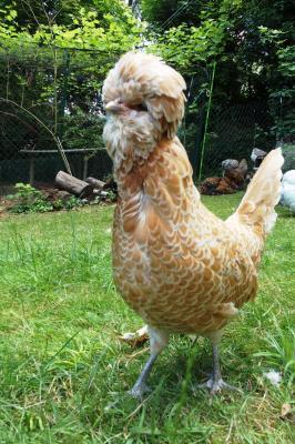 Portrait de poule padoue chamoisee
