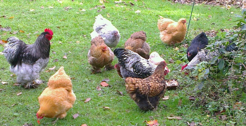 Elever des poules en jardin citadin les contraintes des - Poules en ville reglementation ...