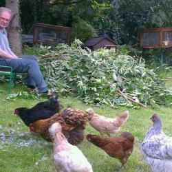 Des plumes de tourterelles pour les poules