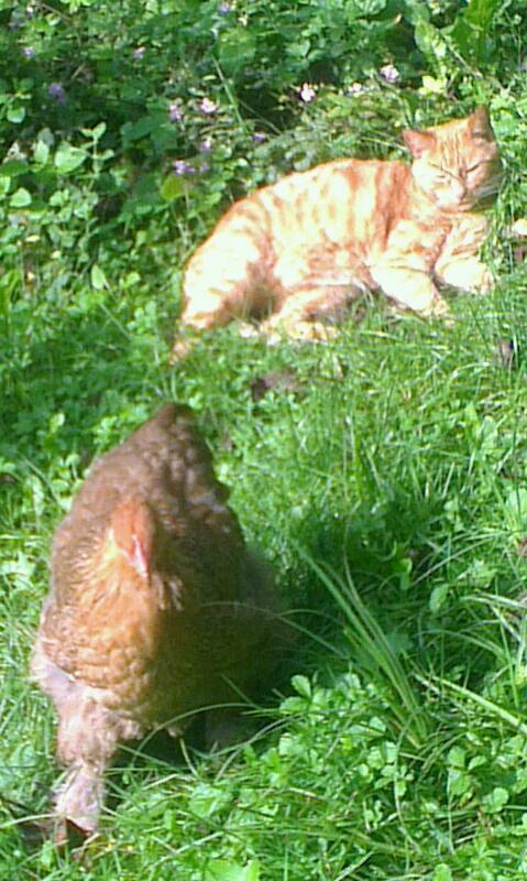 Poulette Cochin et chatte Ikarou