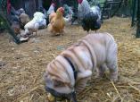 Shar pei dans enclos poules