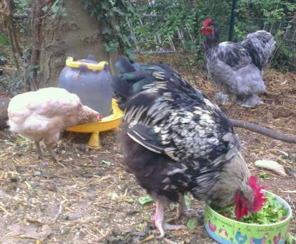 repas des poules photos de poules et coqs autour de plats. Black Bedroom Furniture Sets. Home Design Ideas