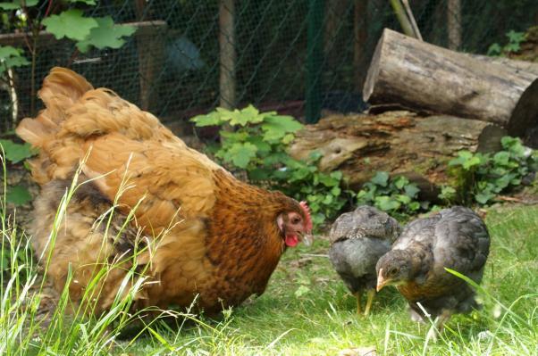 Tipex et ses poussins dans le jardin