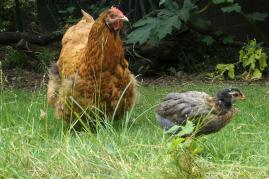 Tipex et son poussin araucana ibis