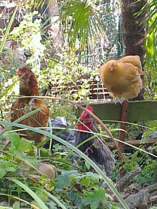Poules orpington et araucana et coq cochin dans la verdure for Dans keff